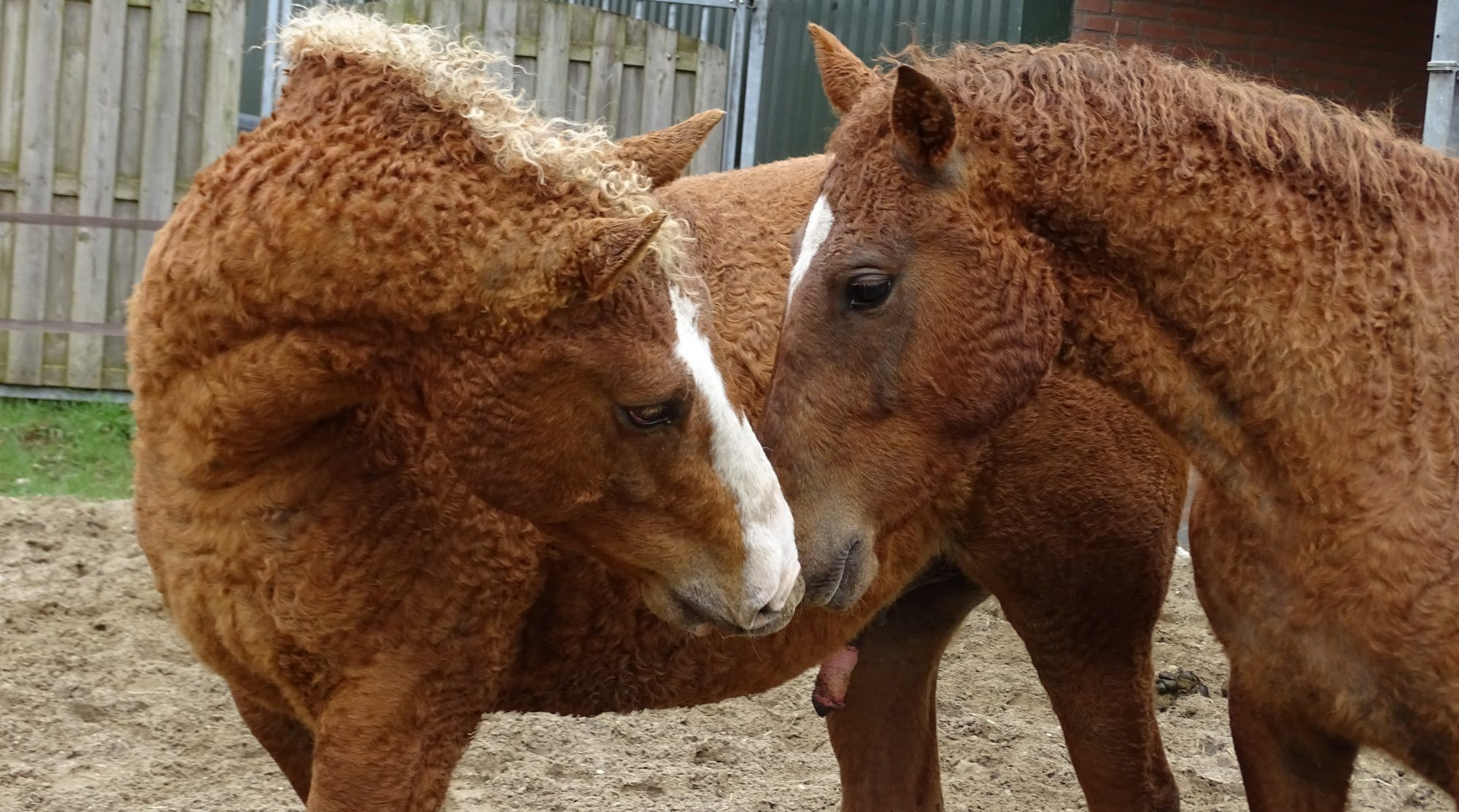 curly horses