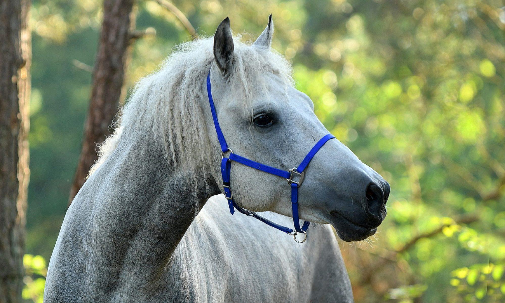 curly horses - breeding farm